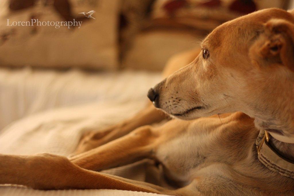 Galgo descansando 3-LorenPhotography
